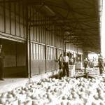 Op de foto klikken om vergroot te zien hoe de tomaten in 1958 werden aangevoerd